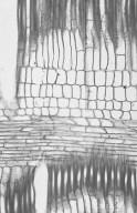 APOCYNACEAE Rauvolfia pentaphylla