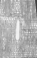 APOCYNACEAE Wrightia tinctoria