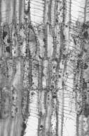 AQUIFOLIACEAE Ilex aquifolium
