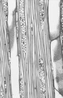 ARALIACEAE Gastonia spectabilis