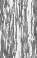 ARALIACEAE Gilibertia arborea