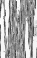 BETULACEAE Betula costata