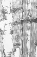 BIGNONIACEAE Catalpa bignonioides