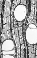 MALVACEAE HELICTEROIDEAE Coelostegia griffithii