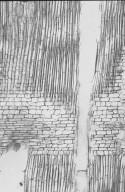 MALVACEAE BOMBACOIDEAE Quararibea guianensis