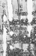 BONNETIACEAE Ploiarium alternifolium
