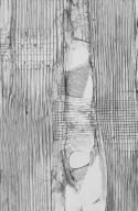 BURSERACEAE Canarium acutifolium