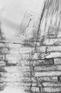 BURSERACEAE Canarium oleosum