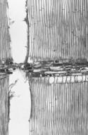 BURSERACEAE Canarium strictum