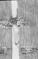 BURSERACEAE Dacryodes buettneri