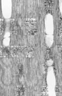 BURSERACEAE Tetragastris panamensis