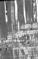 CELASTRACEAE Cassine australis