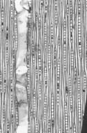 CELASTRACEAE Lophopetalum javanicum