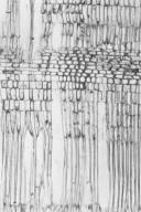 CELASTRACEAE Perrottetia alpestris