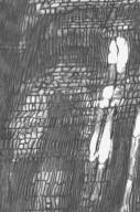 CELASTRACEAE Siphonodon australis