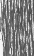CELASTRACEAE Siphonodon celastrineus