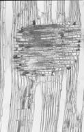 CLETHRACEAE Clethra barbinervis