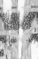 COMBRETACEAE Lumnitzera littorea