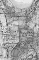 COMBRETACEAE Terminalia ivorensis