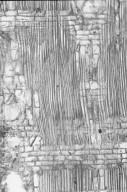 COMBRETACEAE Terminalia oblonga