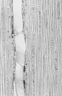 COMBRETACEAE Terminalia sepicana