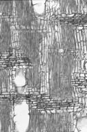 COMBRETACEAE Terminalia sericocarpa