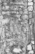 COMBRETACEAE Terminalia steenisiana