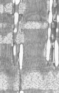 CAPPARACEAE Boscia salicifolia