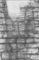 TETRAMELACEAE Tetrameles nudiflora