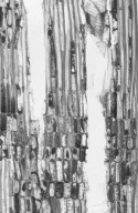DILLENIACEAE Dillenia castaneifolia