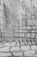 DIPTEROCARPACEAE Anisoptera costata