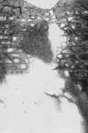 DIPTEROCARPACEAE Anisoptera glabra