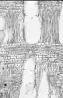 DIPTEROCARPACEAE Neobalanocarpus heimii