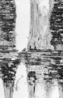 DIPTEROCARPACEAE Dryobalanops lanceolata