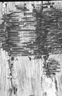 DIPTEROCARPACEAE Shorea leprosula