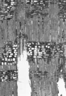 EBENACEAE Diospyros kurzii