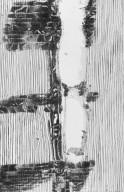 CALOPHYLLACEAE Calophyllum canum