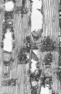 CALOPHYLLACEAE Calophyllum inophyllum