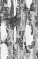 CALOPHYLLACEAE Mammea cordata