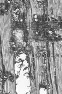 CALOPHYLLACEAE Mammea touriga