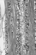 CLUSIACEAE Pentadesma butyracea