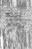 CLUSIACEAE Pentaphalangium crassinerve