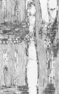 CLUSIACEAE Symphonia globulifera