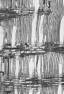 CUNONIACEAE Eucryphia cordifolia