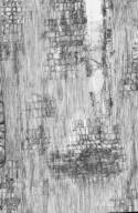 ELAEOCARPACEAE Elaeocarpus bancroftii