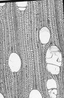 ELAEOCARPACEAE Elaeocarpus angustifolius