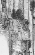 EUPHORBIACEAE Alchornea glandulosa
