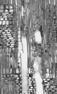 EUPHORBIACEAE Annesijoa novoguineensis