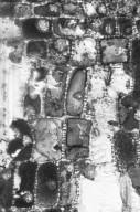 PHYLLANTHACEAE Antidesma excavatum excavatum