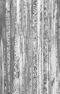 PHYLLANTHACEAE Aporosa nigropunctata